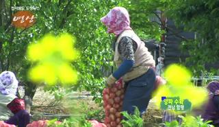 전남의 아름다운 영상-양파 수확 대표이미지
