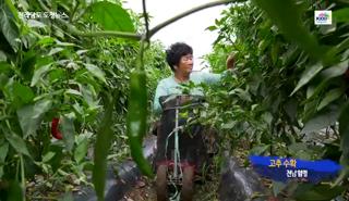 전남의 아름다운 영상-고추 수확 대표이미지